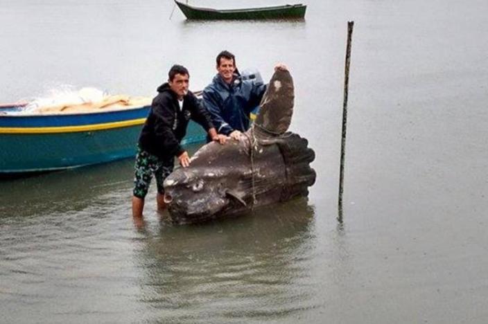 Peixe Lua Gigante é encontrado em São Francisco do Sul - Ana Cristina da Rocha Bonetto - RBS