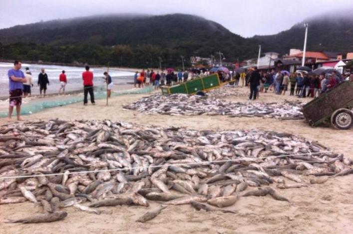 Cerca de 12 mil tainhas são capturadas na barra da lagoa, em Florianópolis (Foto: Sinara Desidério)