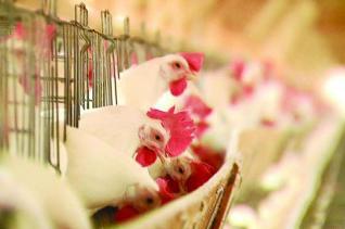Avicultura - frangos se alimentando