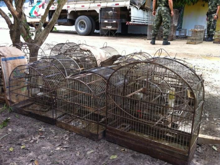 Aves silvestres estavam em gaiolas e seriam vendidas (Foto: PMA)
